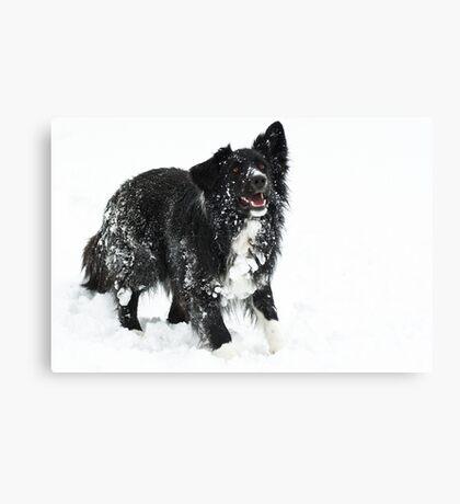 Snowballs..... Canvas Print
