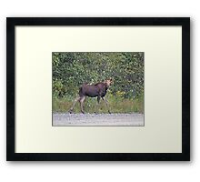 Maine Moose Framed Print