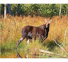 Maine Moose cow Photographic Print