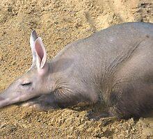 Aardvark taking it easy by Pauws99