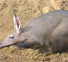 Aardvark taking it easy by Pauws99