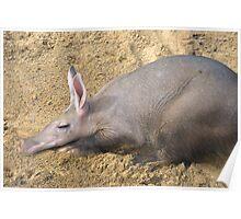 Aardvark taking it easy Poster