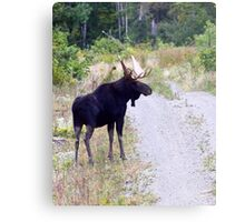 Bull Maine Moose Metal Print