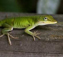 Young Green Anole by Otto Danby II