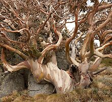 Snow gum at Charlotte's Pass NSW by DivaLyn