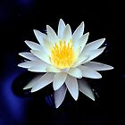 Water Lily  by dcdigital