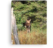 Maine Moose calf Canvas Print