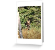 Maine Moose calf Greeting Card