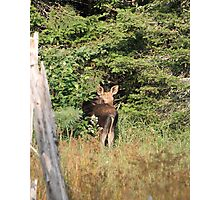Maine Moose calf Photographic Print