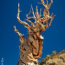Ancient Bristlecone Pine by photo702