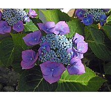 Lace Cap Hydrangea Blossom in Dappled Light Photographic Print