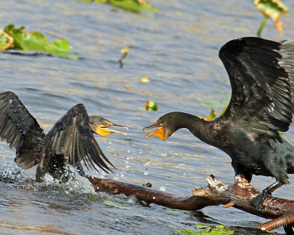 Squabbling cormorants by jozi1