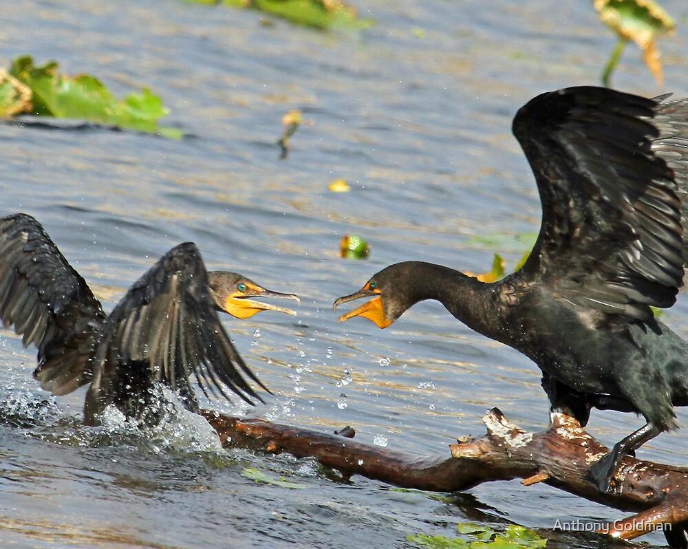 Squabbling cormorants by jozi1