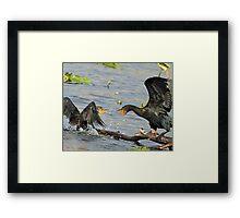 Squabbling cormorants Framed Print
