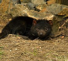 Tasmanian Devil, Cradle Mountain by SusanAdey