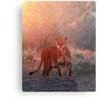 Searching For Cubs Metal Print