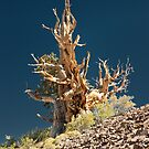 Bristlecone Pine tree by photo702