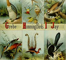 Grebe, Hummingbirds, Jay, Kingfisher, Lyre Bird, and Magpie Colorful Victorian-era Illustration: Picture Alphabet of Birds, 1874 by gumbogirlonline