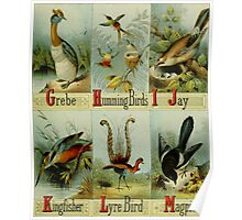 Grebe, Hummingbirds, Jay, Kingfisher, Lyre Bird, and Magpie Colorful Victorian-era Illustration: Picture Alphabet of Birds, 1874 Poster