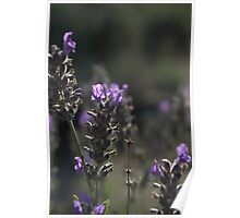 Purple haze - Emu Bay Lavender Farm, Kangaroo Island Poster