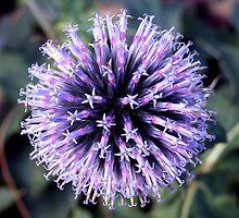 Echinops 2 by Paul  Green
