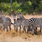 Zebra by Wim De Wulf