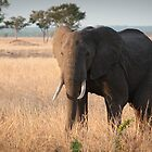 Elephant at sunset by Wim De Wulf