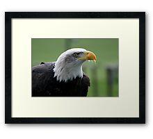 Eagle after luncheon Framed Print