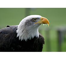 Eagle after luncheon Photographic Print