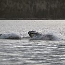 Humpback Whales in White Bay by Stan Wojtaszek