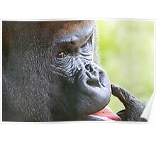 Gorilla at the zoo Poster