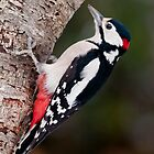 Great Spotted Woodpecker by Willem Hoekstra