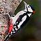 ENDANGERED SPECIES - Woodpecker