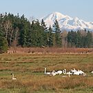 Mt Baker and Swans by RichImage