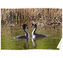 2 Love Great Crested Grebe Poster