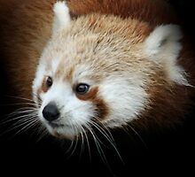 RED PANDA by Debbie Ashe