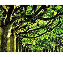Sunny Tree Crowns Photographic Print