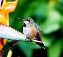 Baby Hummingbird by loiteke