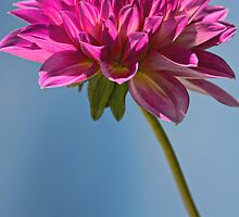 Single Fall Dahlia by T.J. Martin