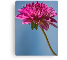 Single Fall Dahlia Canvas Print