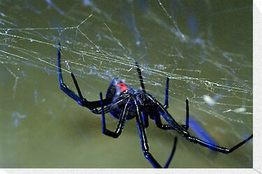 black widow spider hanging on web by Flux Photography