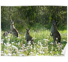 Wallabies, Coombabah Lakelands, Gold Coast Poster