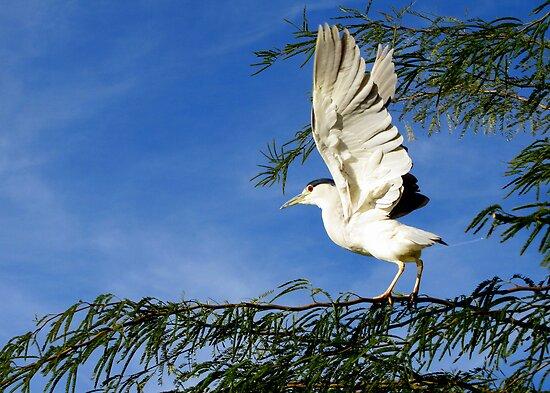 Black-crowned Night Heron ~ Stretch by Kimberly Chadwick