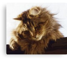 Maine Coon Cat Artwork Canvas Print