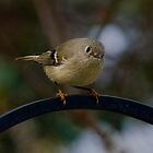 ~Ruby-Crowned Kinglet~ by Kelly Normandeau