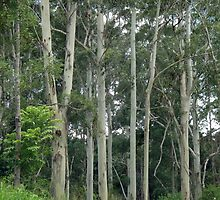 Trees Near Ravenshoe by STHogan