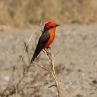 Vermilion Flycatcher ~ Male by Kimberly P-Chadwick