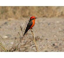Vermilion Flycatcher ~ Male Photographic Print