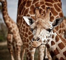 5 giraffes by Lisa  Kenny