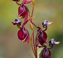 Duck Orchids by Mike Calder